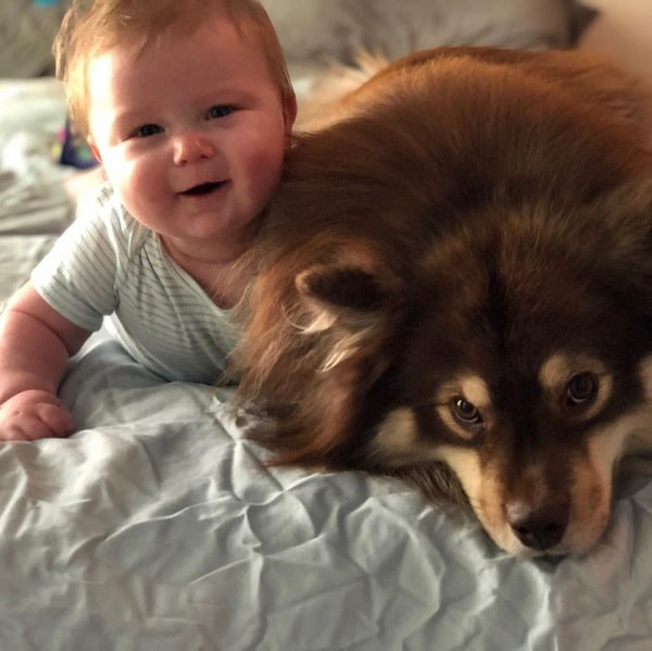 Finnish Lapphund and a baby cuddling