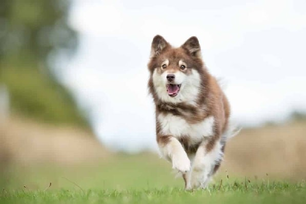 Finnish Lapphund running on the field