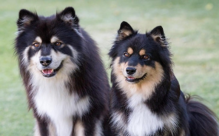 Finnish Lapphund temperament and personality