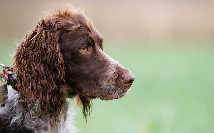 Pont-Audermer Spaniel Personality and temperament
