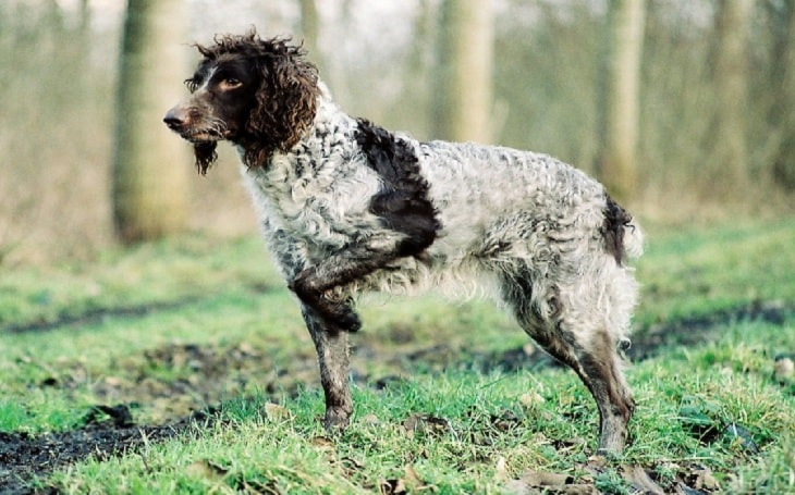Pont-Audermer Spaniel history, behavior, and training