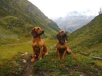 Tyrolean Hounds on the hills