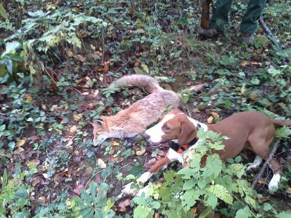 A Posavac Hound with a fox