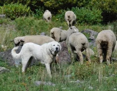 Akbash guarding sheep