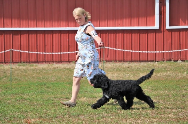 Barbet Dog Training on the field