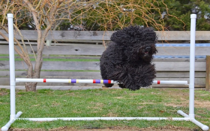 Barbet Dog Training