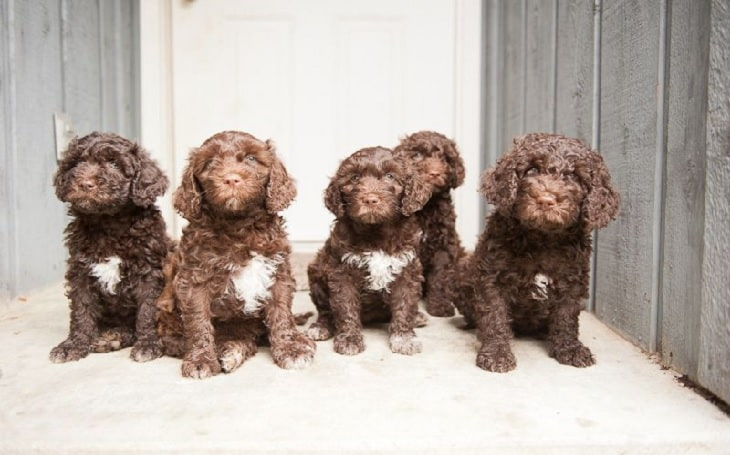 Barbet puppy developmental stages