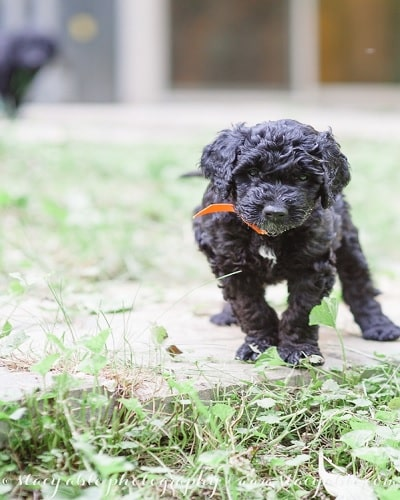 Barbet puppy transitional stage