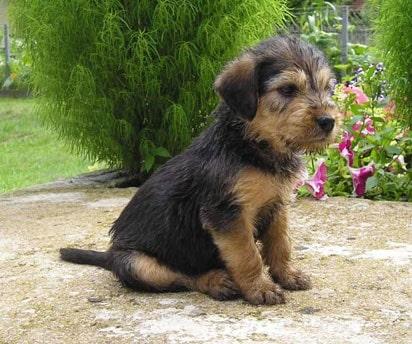 Bosnian Broken-haired Hound Puppy