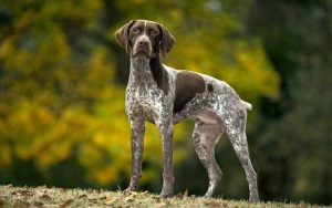 Braque Francais Gascogne Dog Breed Information