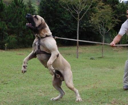 Fila Brasileiros barking