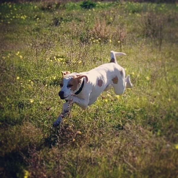 Istrian Shorthaired Hound running on the field
