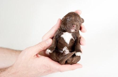 Newborn Barbet Puppy