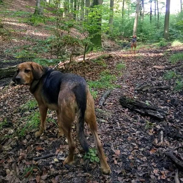 Polish Hound on a hike