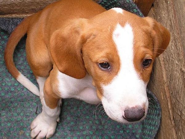 Posavac Hound Puppy