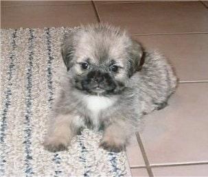 Pug-zu Puppy cost
