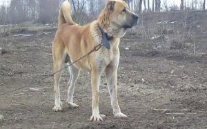 Sarabi Mastiff Information