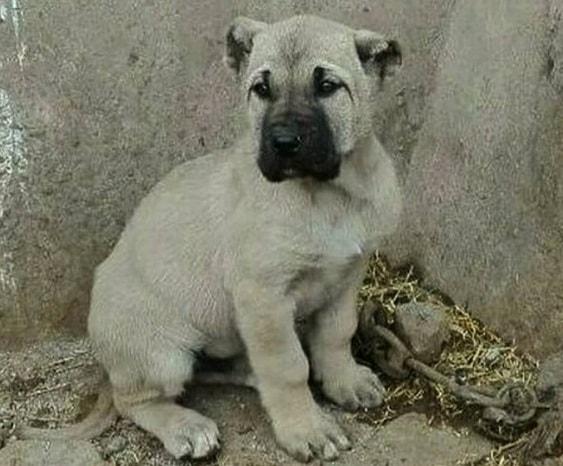 Sarabi Mastiff Puppy cost