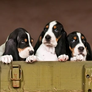 Schweizerischer Niederlaufhund Puppies