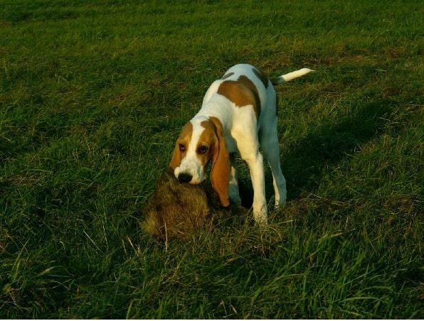 Schweizerischer Niederlaufhund on the field