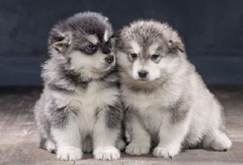 2-3 months Alaskan Malamute Puppies