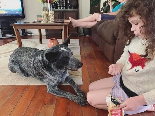 A girl treating Australian Stumpy Tail Cattle Dog