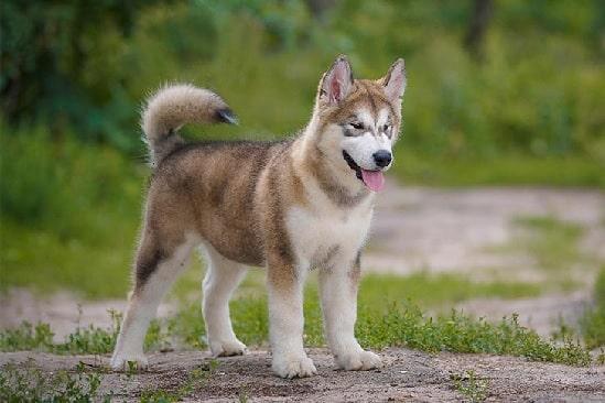 Adult Alaskan Malamute Puppy