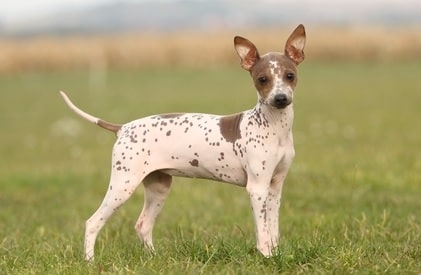 Adult American Hairless Terrier