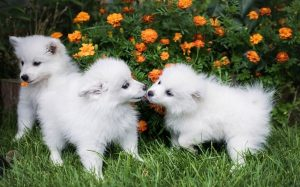 American Eskimo Puppy Development