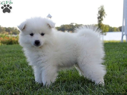 American Eskimo Puppy on the field