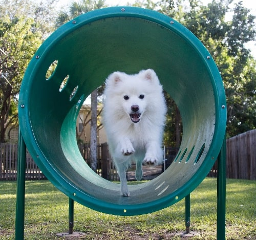 American Eskimo playing in the park