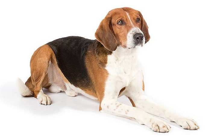 American Foxhound temperament and personality