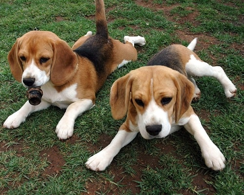American Foxhound Puppies Sitting on the ground