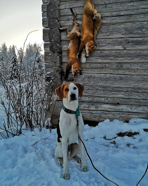 American Foxhound with its prey