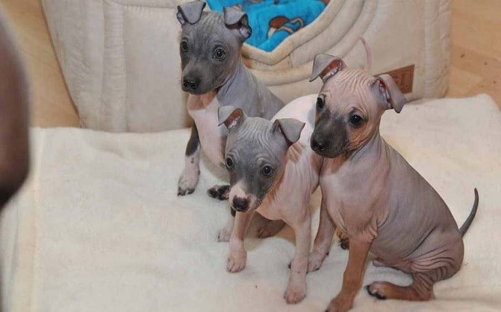 American Hairless Terrier Puppies Developmental Stages