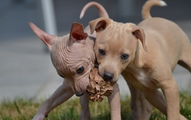 American Hairless Terrier puppies playing