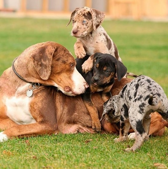 American Leopard Hound Puppies With their Mother