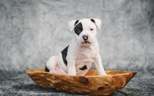 American Stafforshire Terrier Puppies Dev