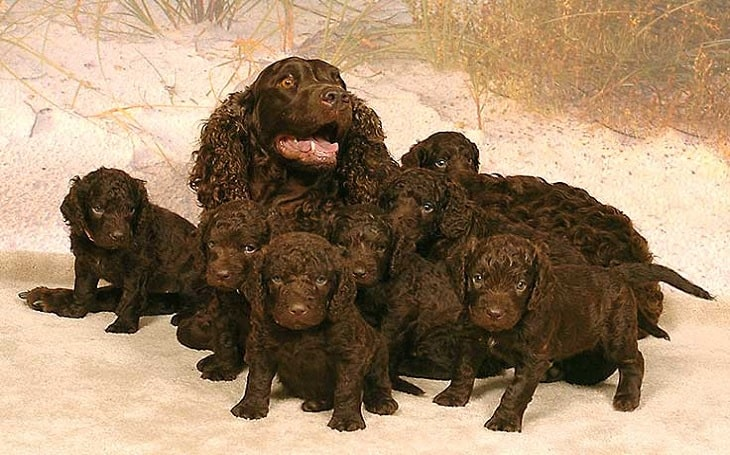 American Water Spaniel puppies and mother