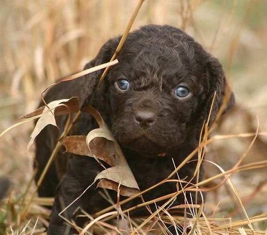 American Water Spaniel puppy hiding in the grass