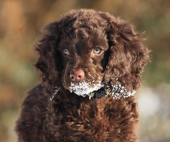 American Water Spaniel puppy playing snow