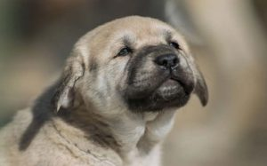 Anatolian Shepherd Puppies Development Stages