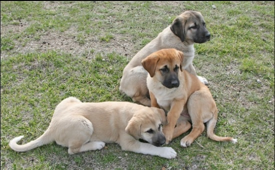 Anatolian Shepherd Puppies playing