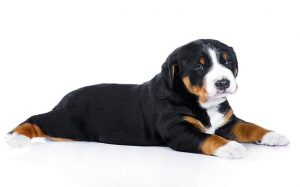 Appenzeller Sennenhund Puppies development stage