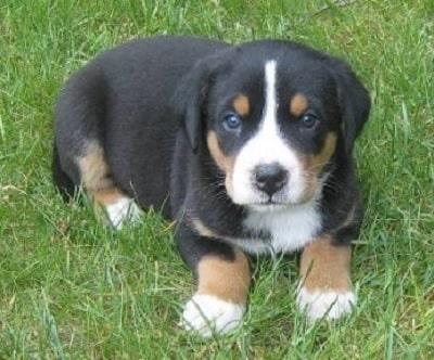 Appenzeller Sennenhund Puppy sitting