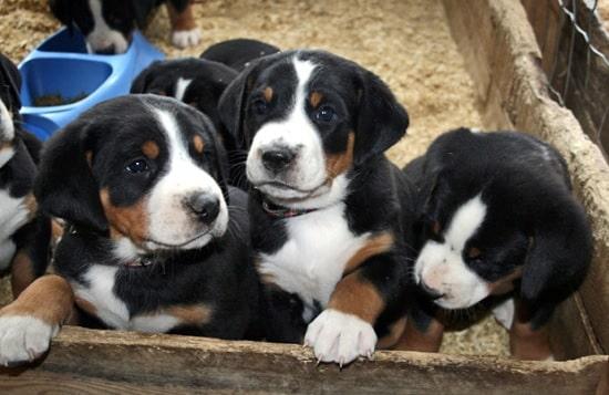 Appenzeller Sennenhund puppies