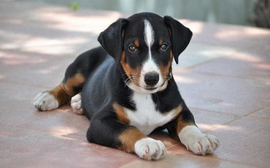 Appenzeller Sennenhund sitting