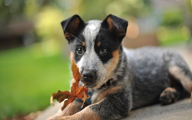 Australian Cattle Dog Puppies development stage