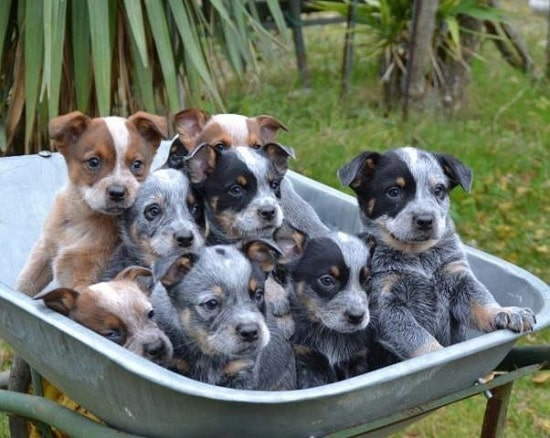Australian Cattle Dog Puppies in a trolley