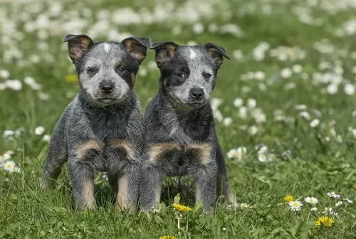 Australian Cattle Dog Puppies on the groundAustralian Cattle Dog Puppies on the ground